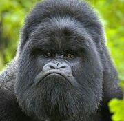 Grampy monkey