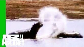 Hippo vs. Bull Shark Animal Face-Off