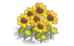 Sunflower (plant)