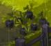 Black Cawwot Plant