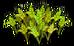 Barley (plant)