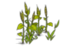 Beans (plant)