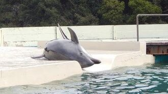 Taiji Japan - Abrichtung wildgefangener Delfine für Delfin-Shows