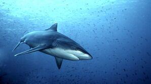 Haie-australien-540x304