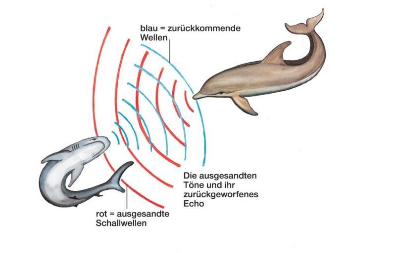 Delfine Echoortung