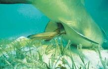 Geburt-Zitronenhai