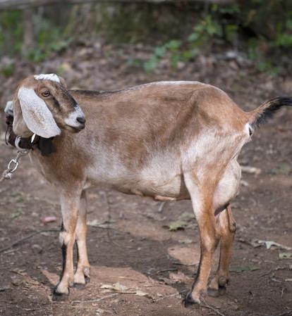 File:Tabitha the Goat.jpg