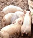 Piggies Crop