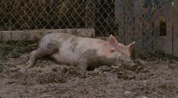 30DWAA pig dies