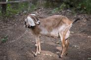 AMC 604 Tabitha the Goat