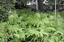 Ferns (Wikipedia Image)