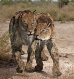 A smilodon supporting an injured one
