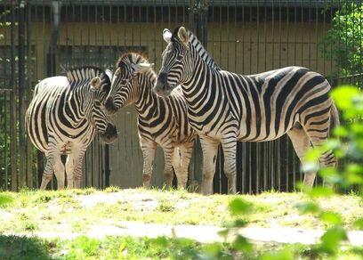Rostock Zoo Zebra 2007