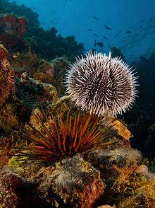 Sea urchin (Wikipedia Image)