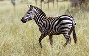 Zebra Wallpapers 07