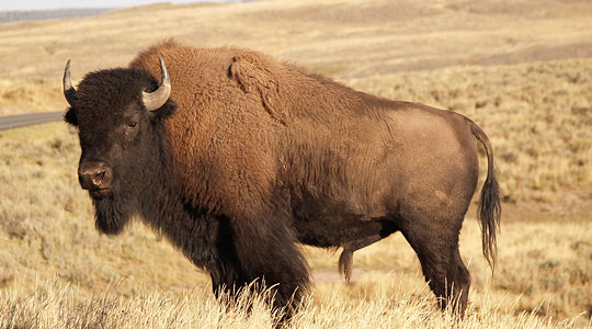 Image result for bison