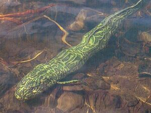 WWD1x1 Lungfish