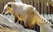 South Americian Coati1K