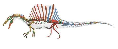 2014 Spinosaurus Skeleton