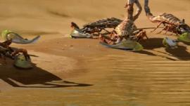 Scorpions devour fish