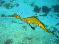 WeedySeadragon