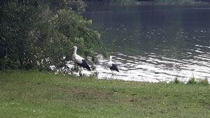 Ooievaars Dreilandersee