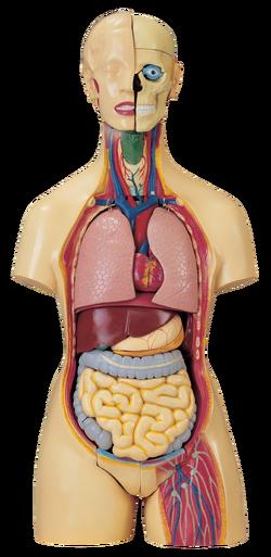 Anatomical Model Artifact