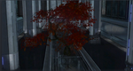 CBautumnmapletree