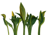 Солнечный Зеленоцвет