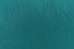 Lince azul