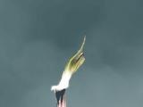 Sarracenia Crepuscolare