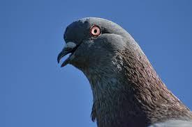 Pigeon content