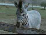 Zorse foal