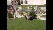 Channing falls off Stripes