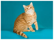 Cat amershor red mackerel tabby lg