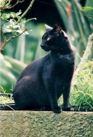 Zwartklauw.afbeelding