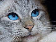 Cat-deep-blue-eyes-2995129