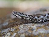 Slangenrotsen