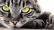 Hd-katten-achtergrond-met-een-portret-foto-van-een-grijze-kat-hd-katten-wallpaper