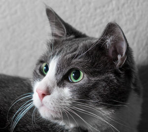 Cat-Cat Guide-A close up of a grey and white cats long whiskers
