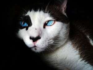 Siamese-blue-eyes-cute-feline-preview