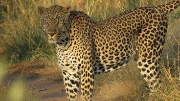 4356 fullimage luipaard panthera pardus marc bondewel 1100x618