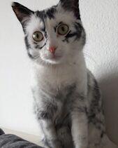 Une-femme-sauve-un-chaton-atteint-dun-vitiligo-rare-et-son-manteau-se-transforme-en-de-magnifiques-marques-ressemblant-a-des-flocons-de-neige-97082-full
