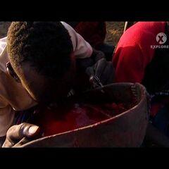 Воин пьет коровью кровь.