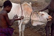 862-03820431fw-A-Nyangatom-boy-holds-a-cow-whilst-another-boy-draws-his-bow-ready-to-