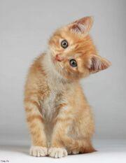 Cute-orange-tabby-cats-brown-tabby-cat-orange-and-white-tabby-cat-with-blue-eyes-cute-tabby-cat-black-tabby-cat