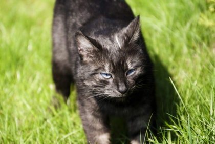Image Blue Eyes Animals Black Cat Photomanipulations 3872x2592
