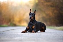 Doberman-dog-outdoors-640x427