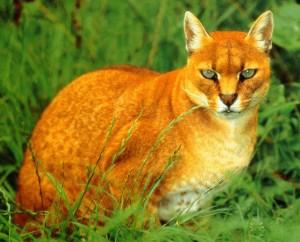 File:Golden cat.jpg