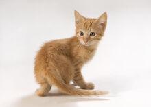 Tan-kitten-thomas-firak